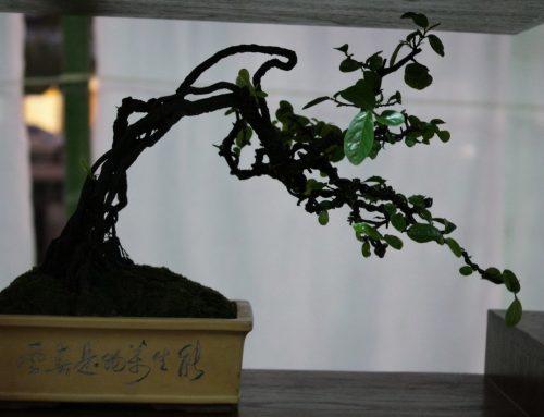 Bonsai trees Display at the Chiang Mai Flower Festival    2019     תצוגת עצי בונסאי בפסטיבל הפרחים ציאנג מאי